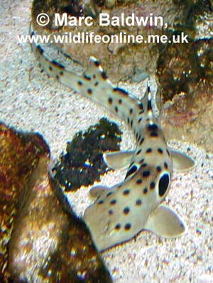 Juvenile Epaulette Shark  � Mark Baldwin, www.wildlifeonline.me.uk