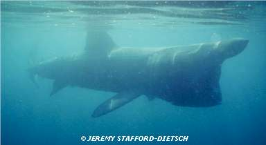 Basking Shark � Jeremy Stafford-Deitsch