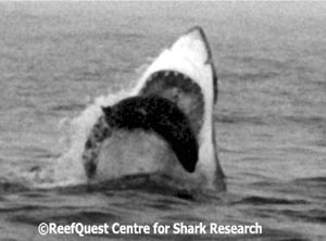 South African Great White Shark 
